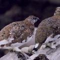 Куропатка Дикие птицы.  Виды диких птиц, фото и описание.