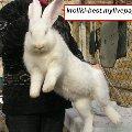 Разводим кроликов породы Фландр(гигантский кролик), Французский баран и новозеландский красный...Производители нескольких чистопородных линий из Польши и Словакии...Родители 9-10 кг...Есть элитные крольчата 2-3-4 месяца..Недорого.Продам... Крым.Украина.Симферополь. +380984700080 Майл- crolici@gmail.com ---- kroliki-best.mylivepage.ru/ Доставка по Украине!  Кроли полностью привиты и Пропоены от кокцидоза. Кроликов продам, кролика продам.   порода фландр . бельгийский великан «фландр»,  «ризен»,  «бельгийский обр»,  кролики гиганты «фландр»,  «фламандский гигант». название породы в разных странах «бельгийский,  «deutsche riesen» - нем. немецкий великан,  «belgicky obr» - чех. бельгийский великан,  « flemish giant» - англ. фламандский гигант,  «geant des flandres» - франц. гигант фландрии,  «olbrzym belgijskij» - польск. великан бельгийский.обр