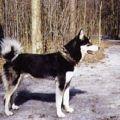 Восточносибирская лайка - эта охотничья собака, абориген