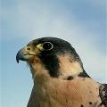 Охота сокола-сапсана за летящей птицей.
