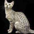 Египетский Мау.  Какая ты порода кошек.