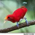 К слову сказать не все представители Райских птиц выглядят красиво, есть...