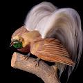 Райская птица Дикие птицы.  Виды диких птиц, фото и описание.