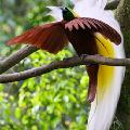 Это - райские птицы.  Долгое время им приписывали лечебную силу.