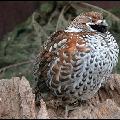 Небольшая птица семейства тетеревинных, масса тела до 500 граммов.