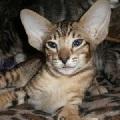 короткошерстные кошки фото - фотография 8.