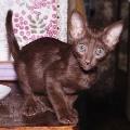 Восточная короткошерстная кошка Кошки.