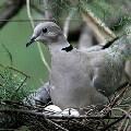 Горлицы или горлинки - растительноядные птицы, которые относятся к семейству голубиных.