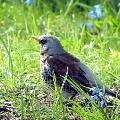 Дрозд Дикие птицы.  Виды диких птиц, фото и описание.