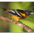 Фото вы можете найти в категории: варакушка птица фото.