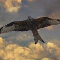 Коршун Дикие птицы.  Виды диких птиц, фото и описание.