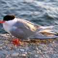 Крачка Дикие птицы.  Виды диких птиц, фото и описание.