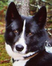 Вообще-то все породы лаек отличаются универсальностью, и многие собаки...