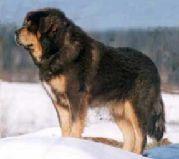 Породы собак: Тибетский мастиф, Фотография 7.