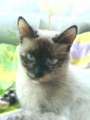 Тайская короткошерстная кошка (ТНА)