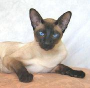 Сиамская короткошерстная кошка (SIA)