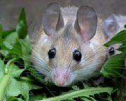 Иглистая египетская мышь