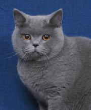 британская порода кошек фото.