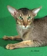 Кот с вытянутой мордой порода фото