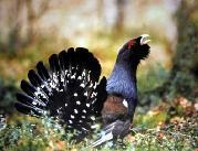 """Названием  """"глухарь """" птица обязана известной особен-ности токующего в..."""