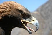 Беркут Дикие птицы.  Виды диких птиц, фото и описание.