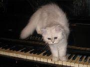 Персидская кошка (PER)