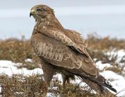 Один из самых обычных видов дневных хищных птиц.  Широко распространен по всей территории области.