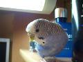 Волнистый попугай.  20 февраля 2010.  Попугаи.  Виды попугаев, фото и описание. синий с белым и фиолетовая спинка.