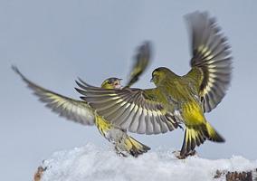 Разведение Волнистых Попугаев В Домашних Условиях Видео