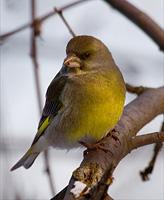 Щегол - Дикие птицы. Виды диких птиц, фото и описание