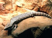 Экзотические животные - Ящерицы - Синеязыкий сцинк.