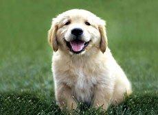 Содержание щенка. О чём следует помнить,   приобретая щенка?