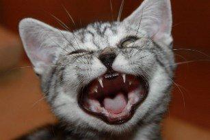 Выпадение зубов у кошек и собак