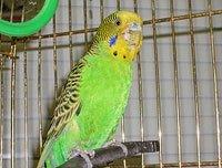 Болезни волнистых попугаев.  Причины и симптомы.