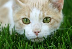 Затрудненное (болезненное) мочеиспускание у кота - странгурия