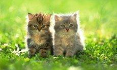 Коронавирусная инфекция. Вирусный перитонит кошек
