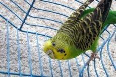 Вопросы и ответы о лечении попугаев