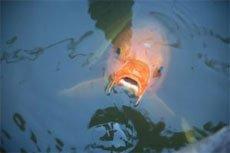 Рыбы не говорят и не слышат.