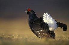 """Внешний вид.  Самец с белыми полосами на крыле,  """"косицы """" хвоста..."""