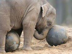 Слон – самый сильный зверь