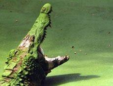 Крокодилы быстро бегают,   а догнав человека способны откусить у него руку или ногу