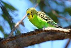Болезни волнистых попугаев. Лечение и симптомы.