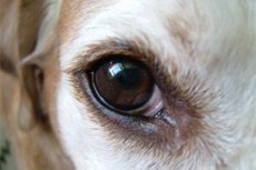 Что делать если  у собаки (кошки) гноятся  глазки?