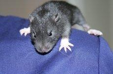 Пищевая и тактильная аллергия у грызунов