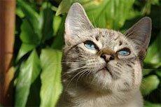 Язвенный стоматит. Причины появления язв в ротовой полости у кошек.