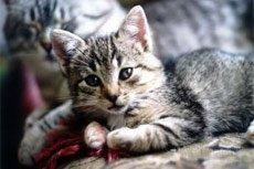 «Гипокальцемия» кошек (гиперпаратиреодизм)