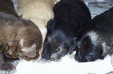 Вскармливание новорожденных щенков