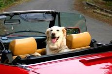 Собаку укачивает в машине,   что делать? (Часть 2).