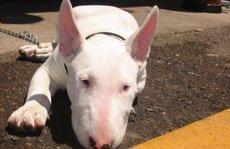 Операции в области слухового прохода у животных