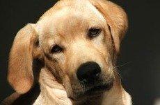Эктопия мочеточников. Почему щенок писается?